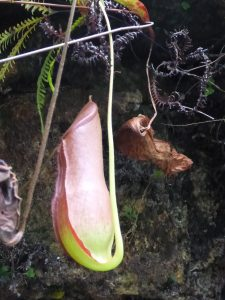 Pitcher Plant, the big lap
