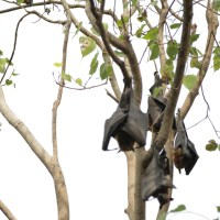 Fruit Bats of Chachoengsao
