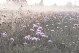 pink purple flowers morning dawn fog fields meadow