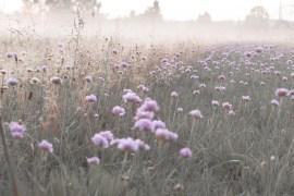 pink purple flowers morning dawn fog fields meadow