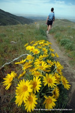 Arrowleaf balsamroot, Upper Hulls Gulch Trail.