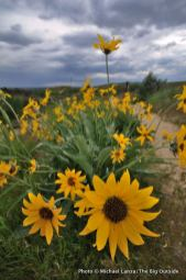 Arrowleaf balsamroot, Chickadee Ridge