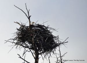 Bald eagle nest.