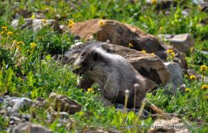 Marmot along Gunsight Pass Trail.