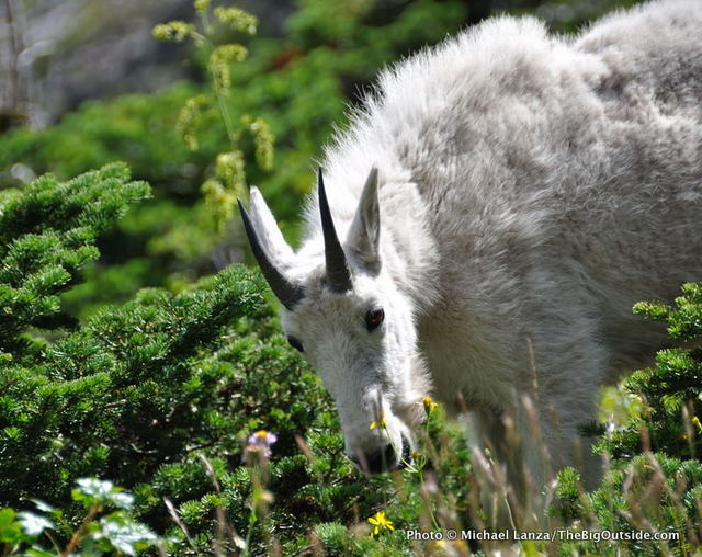Mountain goat, Gunsight Pass Trail