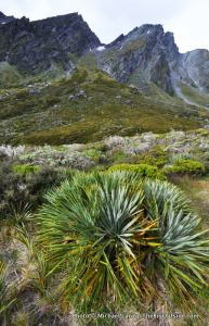 Speargrass, Upper Rees Valley, Rees-Dart Track