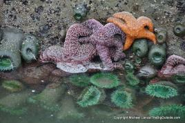 Sea stars and sea anemones on a boulder.