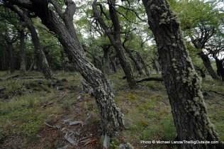 Forest near Refugio Grey.