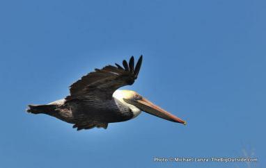 Brown pelican, East River.