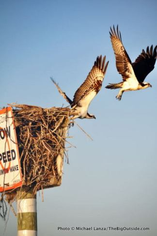 Osprey, Chokoloskee Bay, Everglades.