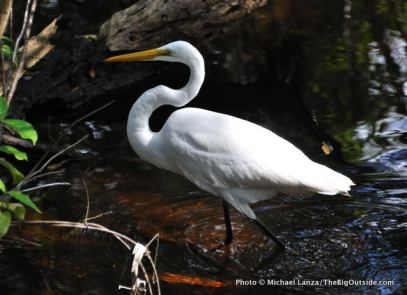 Great egret, Everglades National Park.