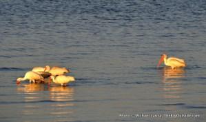 White ibises, Tiger Key, Ten Thousand Islands, Everglades/