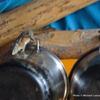 Chipmunk in Bench hut.