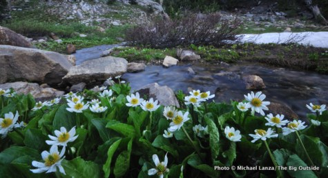Marsh marigold, South Fork Cascade Canyon, Grand Teton National Park, WY.