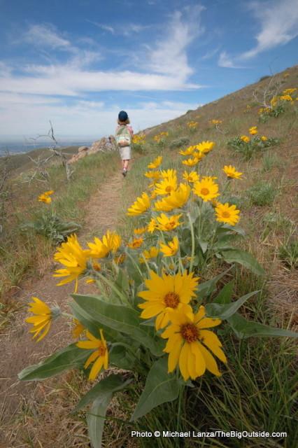 Arrowleaf balsamroot, Upper Hulls Gulch Trail, Boise Foothills, Idaho.