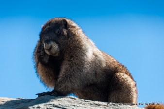 A marmot above Paradise at Mount Rainier.