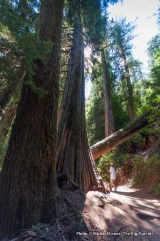 Grove of the Patriarchs, Mount Rainier N.P.