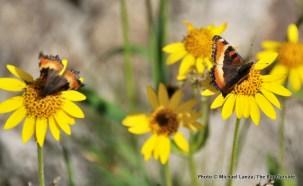 Butterflies at Arrowhead Lake