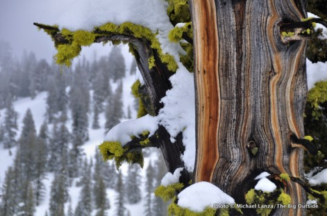 Tree near Idaho's Mores Creek Summit.