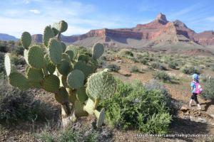 Beavertail cactus, Tonto East Trail
