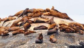 Steller sea lions, South Marble Island, Glacier Bay