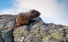 Marmot, Upper Lyman Lakes.