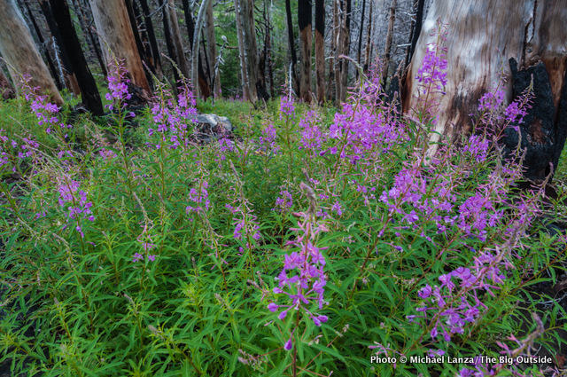 Fireweed along the Timberline Trail.