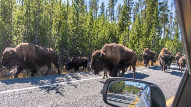 Video: A Yellowstone National Park 'Bison Jam'