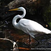 Great egret, Everglades National Park.