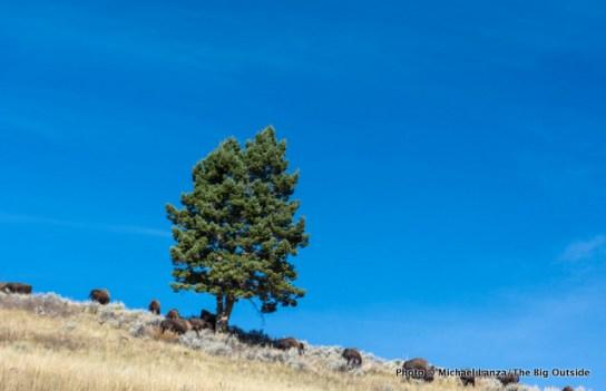 Bison along Blacktail Deer Creek Trail, Yellowstone.
