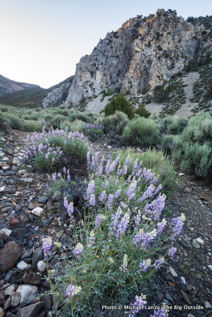 Lupine in Surprise Canyon, Panamint Range, Death Valley National Park.