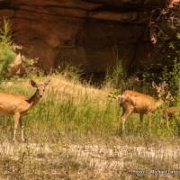 Deer in Lodore Canyon.