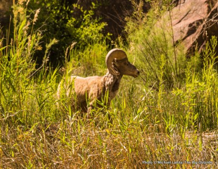 Bighorn sheep in Lodore Canyon.