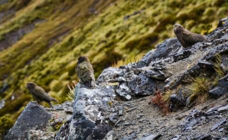 Keas on the Kepler Track, Fiordland National Park.