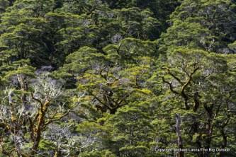 Forest in Iris Burn, Kepler Track, Fiordland National Park.