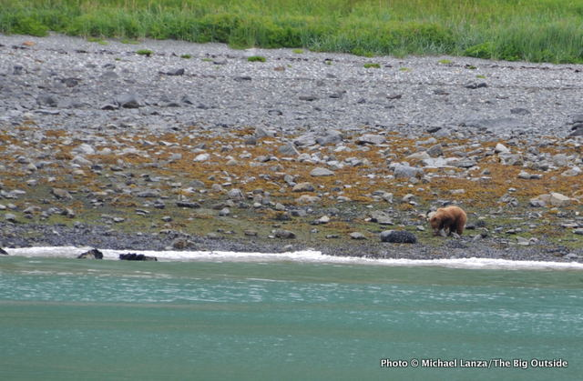 A brown bear in Glacier Bay National Park, Alaska.