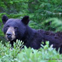 A black bear in Olympic National Park.