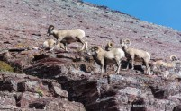 Bighorn sheep below Redgap Pass in Glacier National Park.