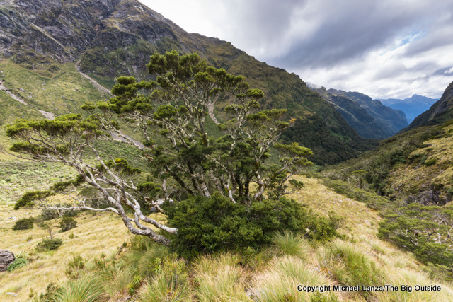 Trees below Centre Pass on the Dusky Track, Fiordland National Park, New Zealand.