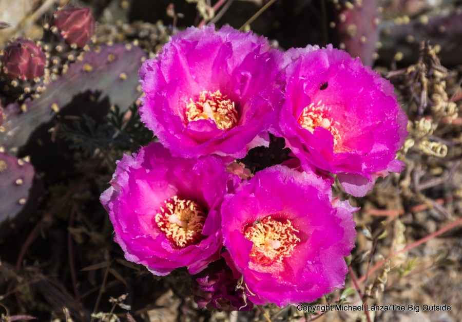 Prickly-pear cacti flowers along the Tonto Trail in the Grand Canyon.