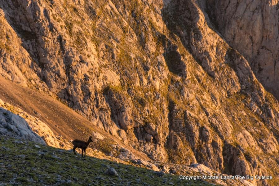 A chamois at dawn outside the Refugio Vega de Urriellu, Picos de Europa National Park, Spain.
