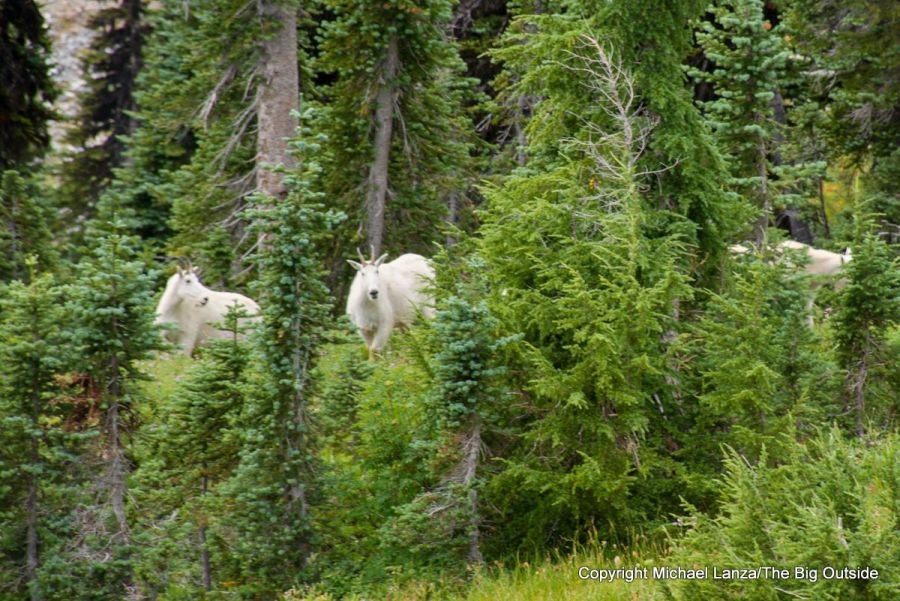 Mountain goats along the Wonderland Trail in Mount Rainier National Park.