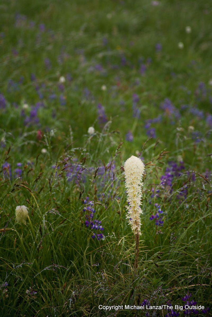 Beargrass along the Wonderland Trail in Mount Rainier National Park.