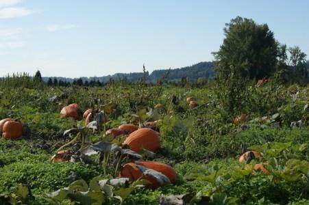 Pumpkins forever