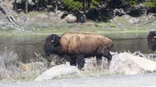 Wild buffalo, that's one hefty animal.