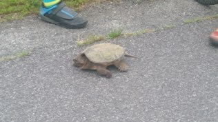 Watch your toes, snapping turtle in Kentucky.