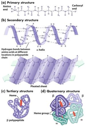 Amino acids and Protein | the biochemGazettE
