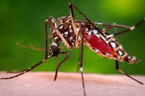 mosquito mosquitoes