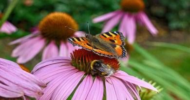 tortoiseshell butterfly bumblebee