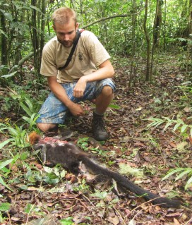 A dead udzungwa red colobus (Procolobus gordonorum) killed by a crowned eagle.